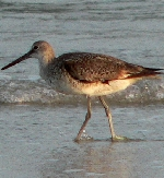 Hatteras Island offers bird watchers a truly incredible opportunity which is unique by our various seasons.